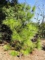 Pinus taiwanensis - J. C. Raulston Arboretum - DSC06107.JPG
