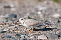 Piping Plover (7235505204).jpg