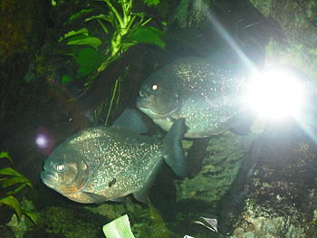 English: Piranhas_Zagreb Zoo_Croatia