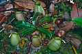 Pitcher Plant (Nepenthes ampullaria) (14136485484).jpg