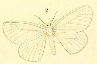 <i>Marblepsis</i> genus of insects