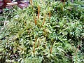 Plagiomnium undulatum Podkomorské lesy.jpg