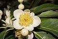 Plant Schima Flower IMG 8544 01.jpg