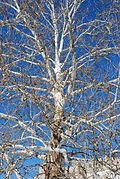 Platanus occidentalis Bloomington.jpg