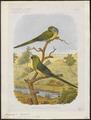 Platycercus haematonotus - 1881-1889 - Print - Iconographia Zoologica - Special Collections University of Amsterdam - UBA01 IZ18500009.tif