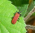 Platycis minutus. Net-winged Beetle. Lycidae - Flickr - gailhampshire.jpg