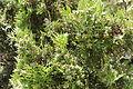 Platycladus orientalis in Avonside, NZ 965.jpg