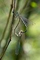 Platycnemis pennipes 6(loz).jpg