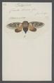 Platypleura - Print - Iconographia Zoologica - Special Collections University of Amsterdam - UBAINV0274 042 01 0008.tif