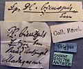 Platythyrea bicuspis casent0101766 label 1.jpg