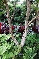 Plinia cauliflora - Longwood Gardens - DSC01049.JPG