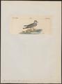 Pluvianellus sociabilis - 1820-1860 - Print - Iconographia Zoologica - Special Collections University of Amsterdam - UBA01 IZ17300045.tif