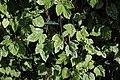 Podosphaera macularis on Humulus lupulus - Humulus lupulus (45474287902).jpg