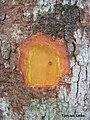 Pogonophora schomburgkiana, cocão - Flickr - Tarciso Leão (2).jpg