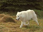 White Artic wolf