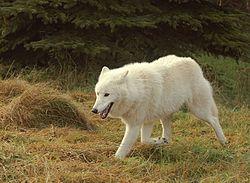 Polarwolf004.jpg