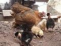 Pollitos con gallina.JPG