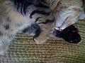 Polydactyl Cat.jpg