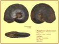 Polyplectus pluricostatum.png