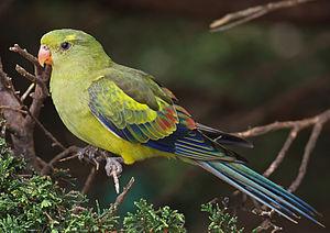 Regent parrot - Juvenile at Walk-in Aviary, Canberra, Australia