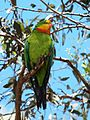 Polytelis swainsonii -Canberra, Australia-8a (4).jpg