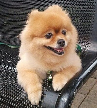Pomeranian (dog) - Cream-colored Pomeranian