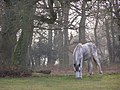 Pony grazing, Broom Hill, New Forest - geograph.org.uk - 386025.jpg
