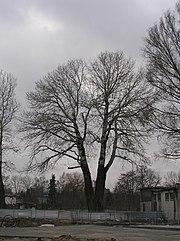 Populus alba - topola biała.JPG