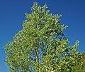 Populus tremuloides (quaking aspen) (Rocky Mountains National Park, Colorado, USA) 1 (15604764828).jpg