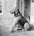 Portret van een Airdale Terrier, Bestanddeelnr 255-8653.jpg