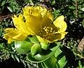 Portulaca molokiniensis (4797240695).jpg