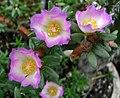 Portulaca villosa (5311697120).jpg