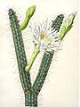 Praecereus saxicola (Cereus cavendishii) Bluhende Kakteen 3. 178.jpg