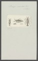 Praniza maculata - - Print - Iconographia Zoologica - Special Collections University of Amsterdam - UBAINV0274 098 13 0005.tif