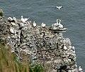 Precarious Gannets, Bempton Cliffs - geograph.org.uk - 768910.jpg