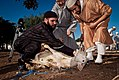 Preparing the Animal sacrifice at Eid at Adha 2.jpg