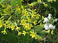Primula elatior hybrid and Allium paradoxum normale (17125842147).jpg