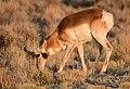 Pronghorn at Seedskadee National Wildlife Refuge (51134185316).jpg