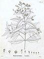 Prostanthera lasianthos-labill.jpg