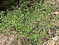 Prunus subcordata 1.jpg