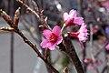 Prunus x yedoensis 5zz.jpg