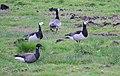 Prutgås Brant Goose (14540952843).jpg