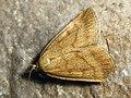 Psammotis pulveralis (40134713194).jpg