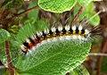 Psilogaster loti (caterpillar).jpg