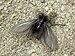 Ptilocephala plumifera - Photo (c) Boris Loboda, some rights reserved (CC BY-SA)