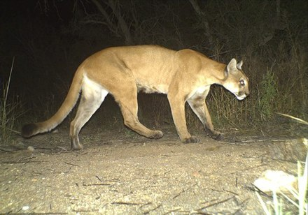 A camera trap image of a cougar in Saguaro National Park, Arizona Puma concolor camera trap Arizona 2.jpg