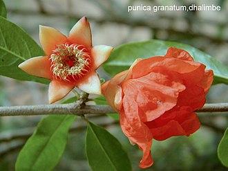 Hypanthium - Image: Punica grantum
