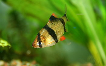 English: A young tiger barb, Puntius tetrazona...