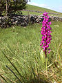 Purple Orchid - geograph.org.uk - 312159.jpg