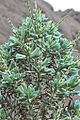 Puya alpestris ssp zoellneri Cuesta Las Chilcas 14.JPG